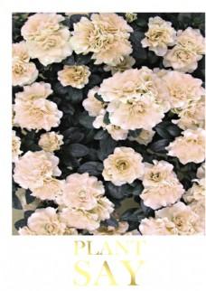 牡丹月季玫瑰花