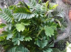含羞草植物盆栽