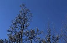 冬日玉兰树