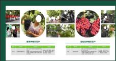 种植水果葡萄