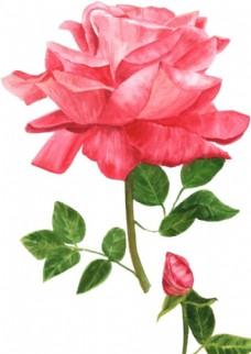 彩绘玫瑰花
