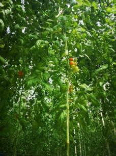 盆栽的番茄树
