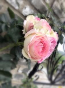 粉色龙沙宝石 进口月季