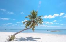 马尔代夫的椰树