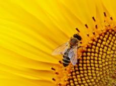 采花蜜的小蜜蜂