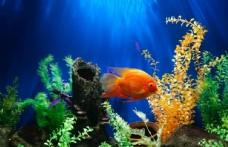 在水底游泳的黄鱼