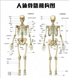 人体骨骼结构图