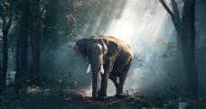 树林中的大象
