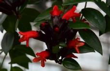 毛萼口红花