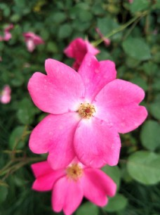 带露珠的玫瑰花