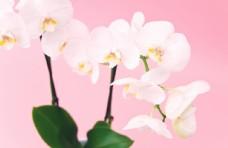 康乃馨 紫色 花束 礼品 装饰