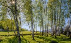 浓密唯美的白桦林风景