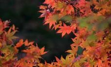 唯美秋季枫叶