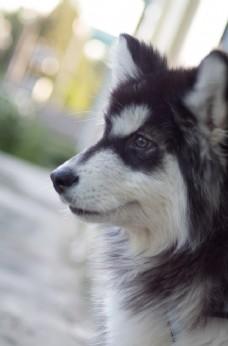 犬 阿拉斯加