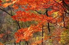 秋天山里的枫叶红叶