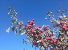 秋日下的红果