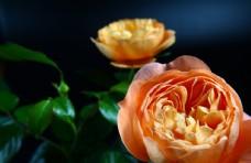 橘红色玫瑰花