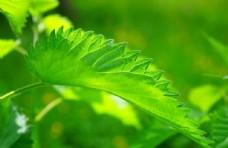 绿色的叶子局部