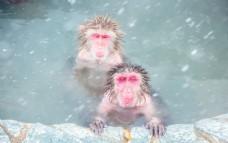 猴子泡温泉