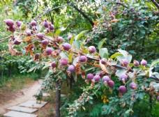 紫色海棠果