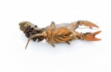 小龙虾产子