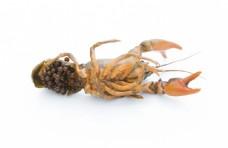 小龙虾繁殖