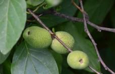 青果 水果  绿化景观 植物