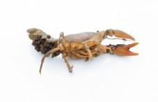 小龙虾产卵