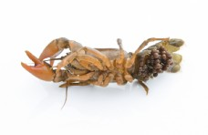 小龙虾孵化