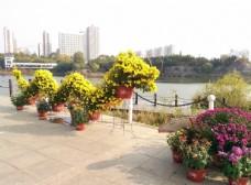 菊花 花卉 花园