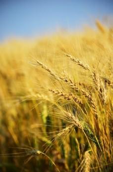 小麦 小满 芒种