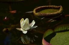 荷塘王莲花