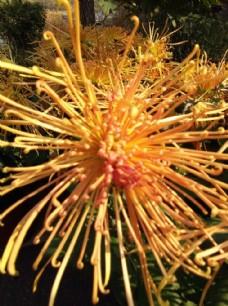 菊花 花卉 花园 花瓣 装饰