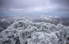 花果山雪松