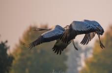 飞翔的野鹤