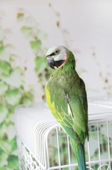 鹦鹉 小绯胸鹦鹉