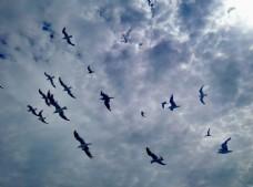 海鸥  鸟  蓝天  翱翔