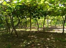 猕猴桃田园风景