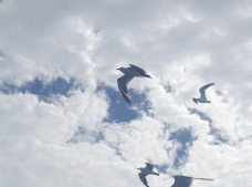 海鸥  鸟