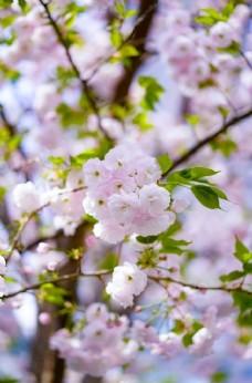 桃花 花朵 鲜花 花瓣