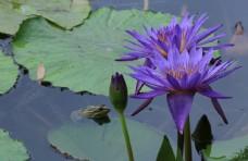 荷塘睡莲花