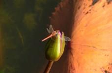 荷塘红蜻蜓