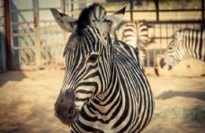 动物园 斑马